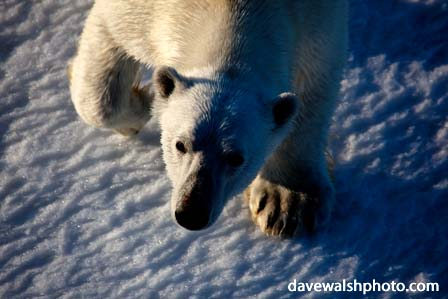 Polar Bear, © Dave Walsh 2009
