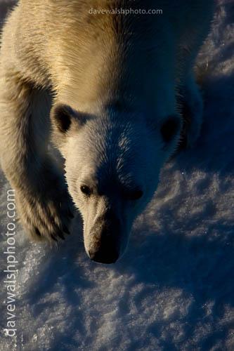 _MG_2251-_polar_bear_20090802_500.jpg