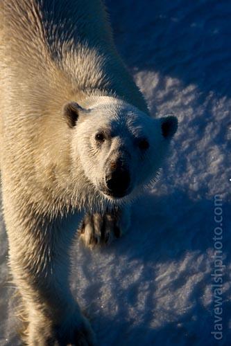 Polar Bear: © Dave Walsh