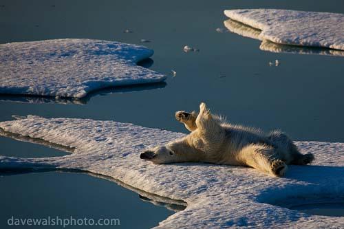 _MG_2282-_polar_bear_20090802_500.jpg
