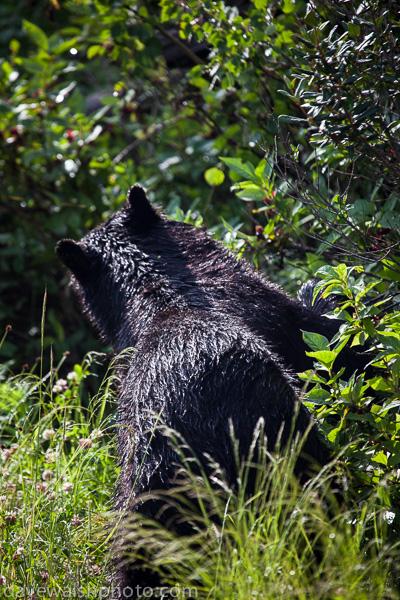 Black Bear, Blacktail Plateau Drive