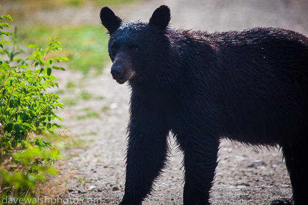 Black Bear, Blacktail Plateau Drive