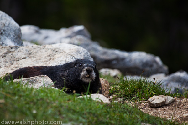 Black Marmot, Grand Teton National Park