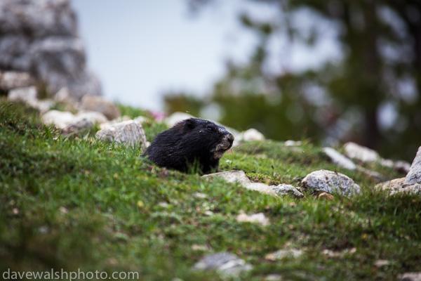 Black Marmot, Grand Teton National Park