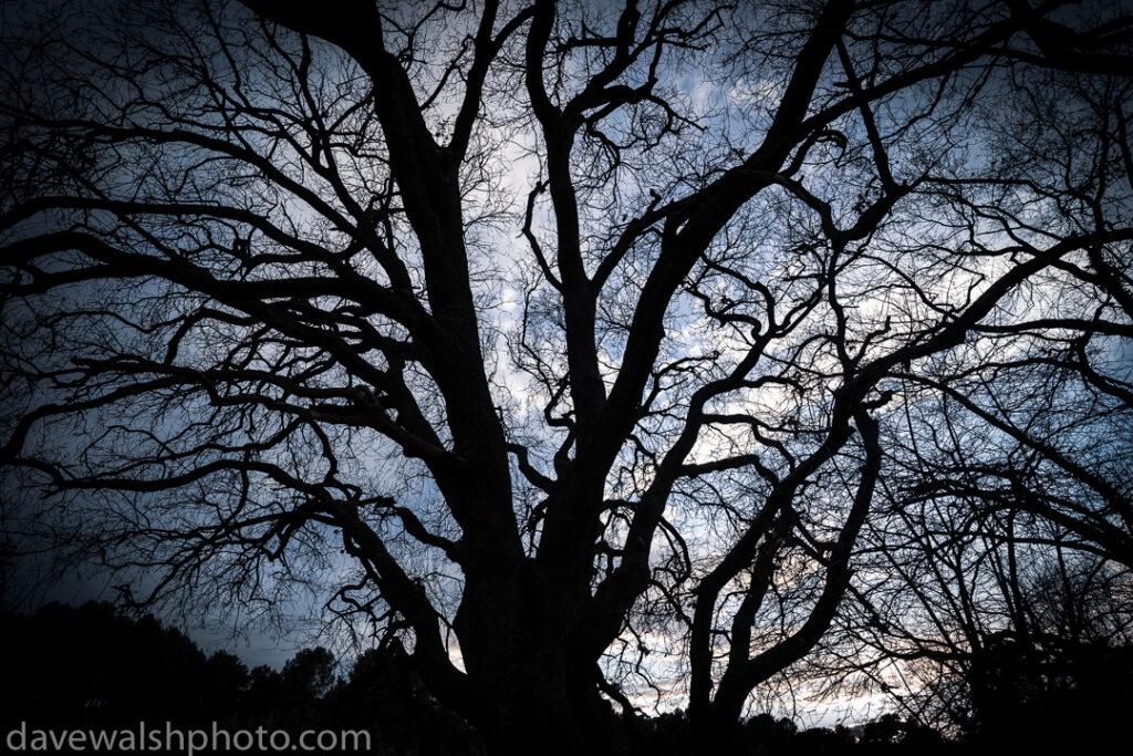 Quercus ilex - Mediterranean Oak at dusk